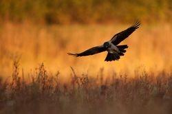 Wrona siwa - ptasi symbol sukcesu