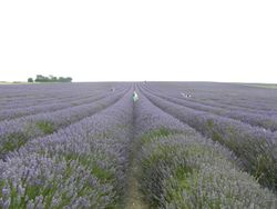 Pete & Nikki's Lavender Fields Adventure