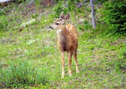 White-Tailed Deer (Fawn) II