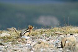 Golden-Mantled Ground Squirrel V (Chipmunk)