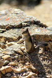 Golden-Mantled Ground Squirrel VI (Chipmunk)