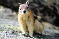 Golden-Mantled Ground Squirrel (Chipmunk)