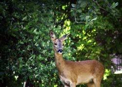 Roe Deer (Hind) II