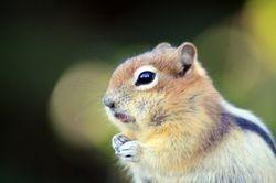 Male Golden-Mantled Ground Squirrel IV (Chipmunk)