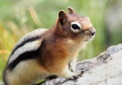 Male Golden-Mantled Ground Squirrel III (Chipmunk)