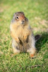 Columbian Ground Squirrel II