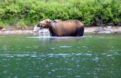 Moose (Cow)
