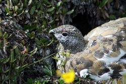 Female White-tailed Ptarmigan