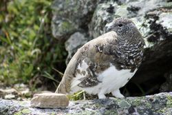 Male White-tailed Ptarmigan
