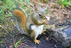 American Red Squirrel II