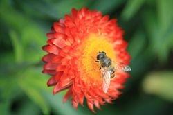 Wasp on a Dalia