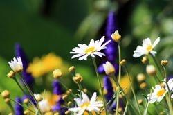 Daisies & Lavender