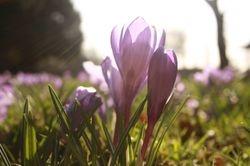 Sunglare Flower