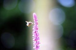Bee Flying onto Salvia