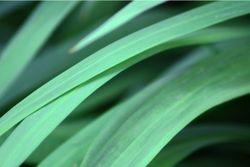 Cyan Leaf
