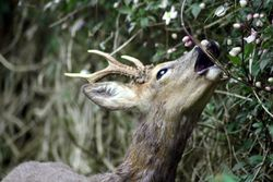 Roe Deer (Young Stag)