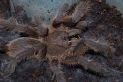 "Chilobrachys sp.""Penang"""