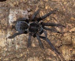 """Cyriopagopus sp.""""Sulawesi Black"""""""