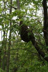 swarm on limb