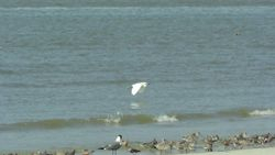 Snowy Egret, Laughing Gull, Red Knots, Ruddy Turnstones, Willet, and Sanderlings
