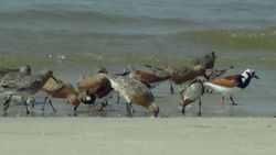 Red Knots, Ruddy Turnstones, and Sanderlings
