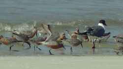 Laughing Gull, Red Knots,and Sanderlings