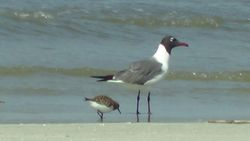 Laughing Gull and Least Sandpiper