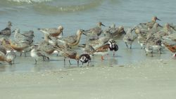 Ruddy Turnstones, Red Knots, Sanderling, and Willet