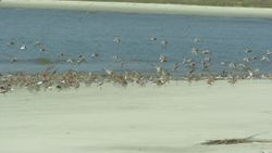 Laughing Gulls,Willets, Red Knots, Dunlin, Sanderlings, and Ruddy Turnstones