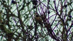 Rufuos Hummingbird