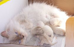 """Angel"", a Lilac-Cream Pt. Persian long-leg Munchkin Mom"