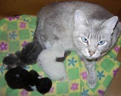 """""""Misty Luna"""", a Chocolaty-blue Lynx Pt. Ragdoll/Siamese long-leg Munchkin Mom"""