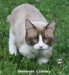 """""""Booker"""" (Munchkinlane S Milky Way) is a standard (short-leg) TICA Quad Grand Champion Chocolate Mink Snowshoe from Elements Cattery."""