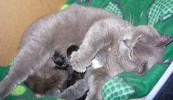 """Cashmere"", a British Shorthair/Ragdoll blue non-standard Munchkin Mom."