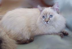 """Misty""-Choc Lynx Pt. Siamese/Ragdoll Non-Standard Munchkin Mom"