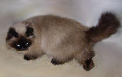 """Penny"", a Seal Pt. Persian long-leg Munchkin mom"