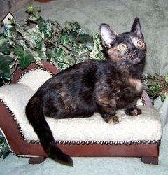 """Kashi"", a shorthair Black Tortoiseshell standard Ragdoll/Siamese Munchkin girl"