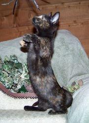 """Windrunner's """"Kashi""""~Tortie shorthair Munchkin mom  (RETIRED)"""
