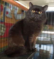 """Black Beauty""~Longhair Persian-Ragdoll-British Shorthair mom (Retired)"