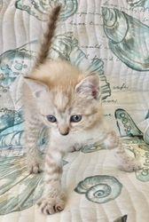 Brandy's Chocolate Mink Lynx girl