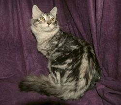 """""""Nitro""""~Cashmere Bengal-Silver Marble stud (RETIRED)"""