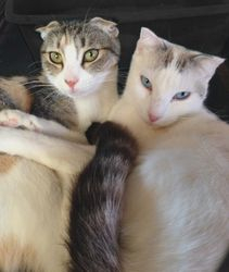 Harlow and Demi~Scottish Fold sisters
