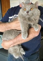 Gandalf (Lilac Persian with short legs-Minuet) daddy