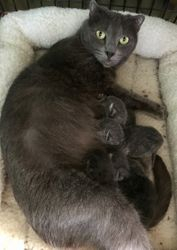 Blue Scottish Fold Garbo may be pregnant with Marley