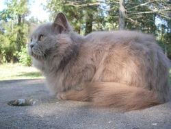 """Hefner""~Lilac Persian Napoleon (Minuet) (Retired) short-leg stud"