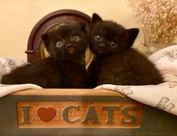 Henna's Black Scottish Kilt and Munchkin brothers (both sold)