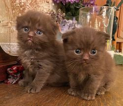 Kitten on the right, Henna's Chocolate med-longhair Scottish Fold boy at 5 weeks - sold