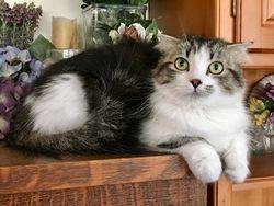 """Jewel""-Tabby Bi-Color Scottish Kilt longhair girl"