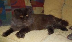 """Kava"", daddy Persian long-leg Munchkin (Retired)"