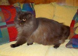 """Kava"", daddy Chocolate Smoke Persian long-leg Munchkin (Retired)"